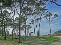 Giens Aleppo pines
