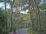 Giens pine forest