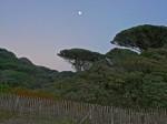 Lardier Parasol pines