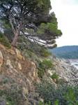 Lardier pine