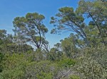 Port Cros pine forest