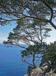 Port Cros pines on the cliffs
