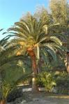 Aurelia palms 1.