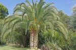 Garennes-phenix palmtree